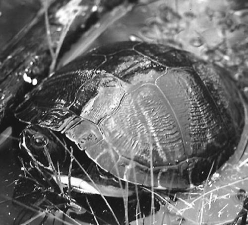 ...корм даже очень хорошего производителя никогда не заменит водной черепахе натуральную пищу - богатую витаминами.