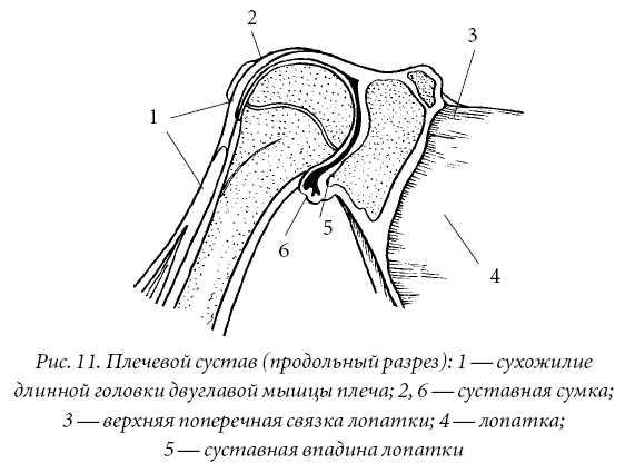 Рисунок цилиндрического сустава сустава анатомия дисплазия тазобедренных суставов у детей валик фрейка